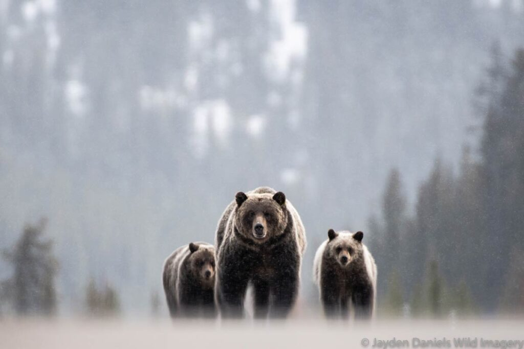 Dramatic picutre of a mother grizzly bear and her two cubs