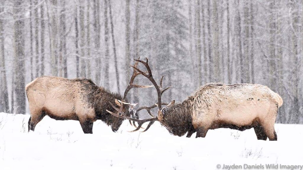 Two bull elk lock antlers in the forest