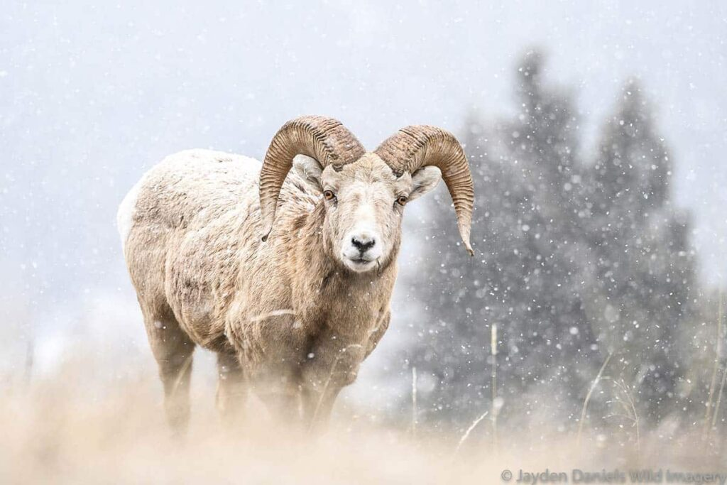 A bighorn sheep in the snow