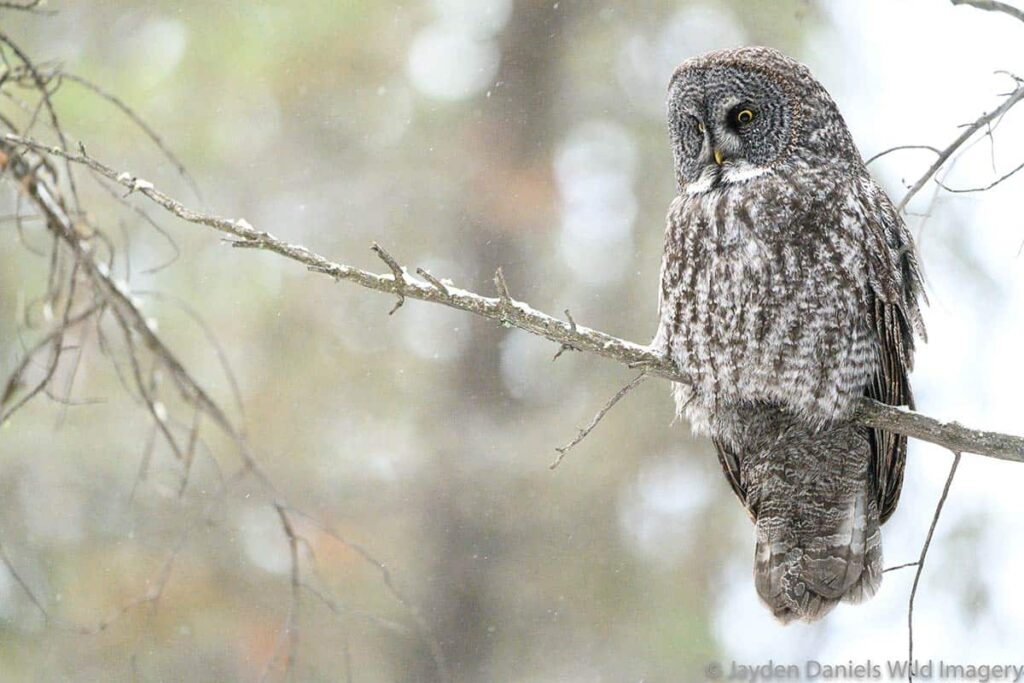 A great grey owl sitting on a tree branch