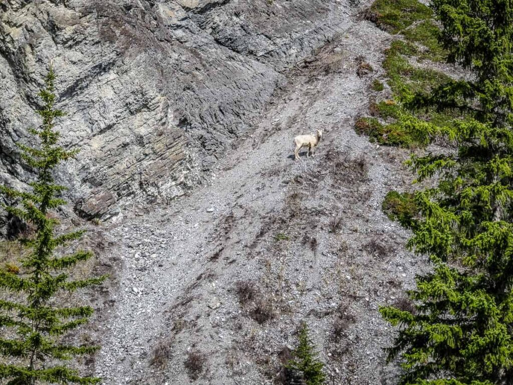 A Rocky Mountain Sheep on a rocky slope on a hike in Kananaskis Country
