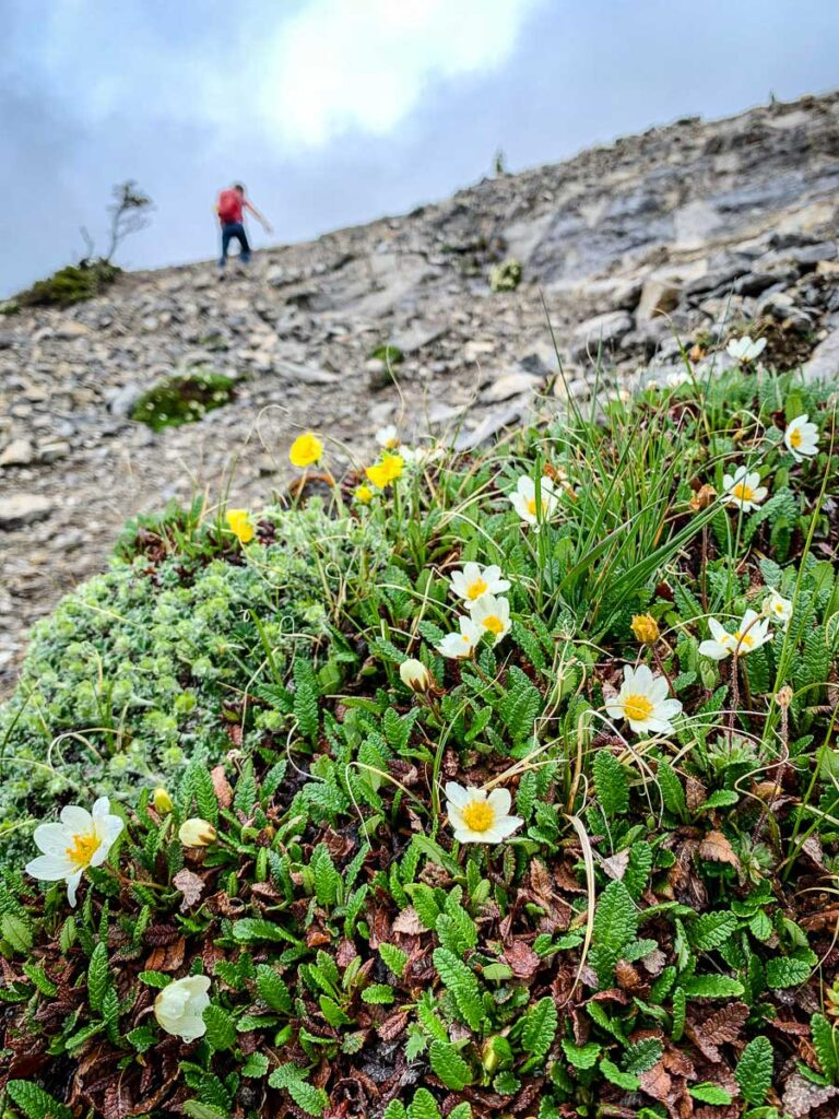 tiny wildflowers growing on Mt. Rundle near Banff National Park