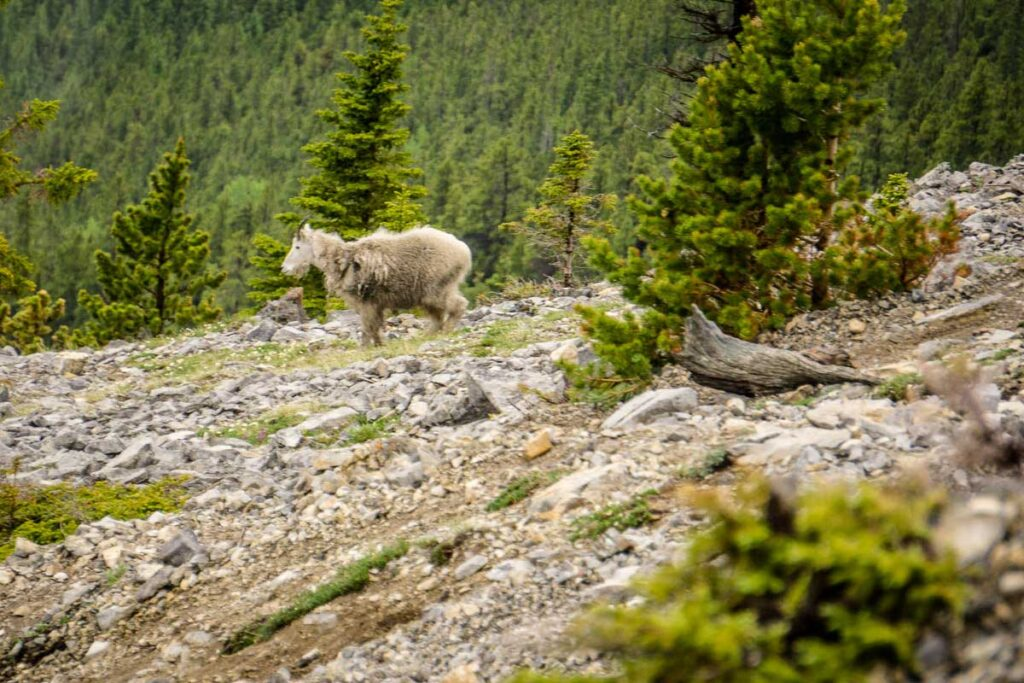 A rare Mountain Goat seen on the East End of Rundle Trail