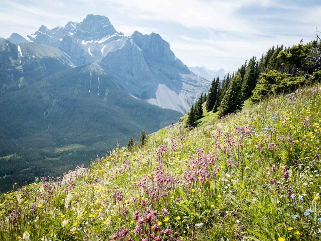 An amazing amount of Alberta wildflowers grow on the south slopes of the Wind Ridge Trail in Kananaskis Country, Alberta, Canada