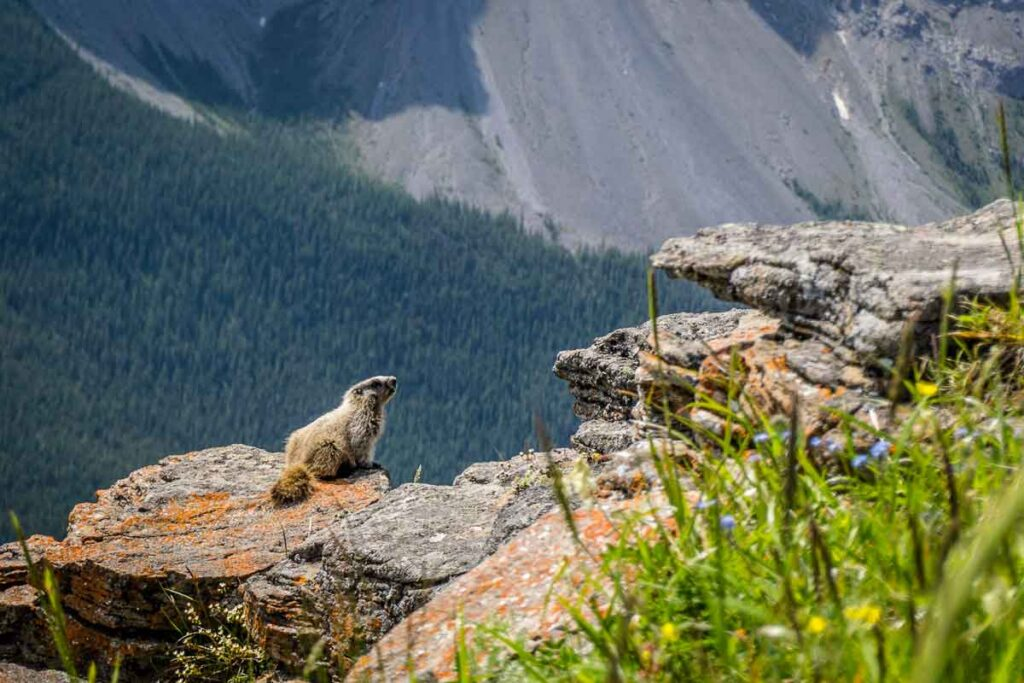 A colony of Hoary Marmots live in the rocks near the top of the Wind Ridge hike in Kananaskis, near Canmore, Alberta