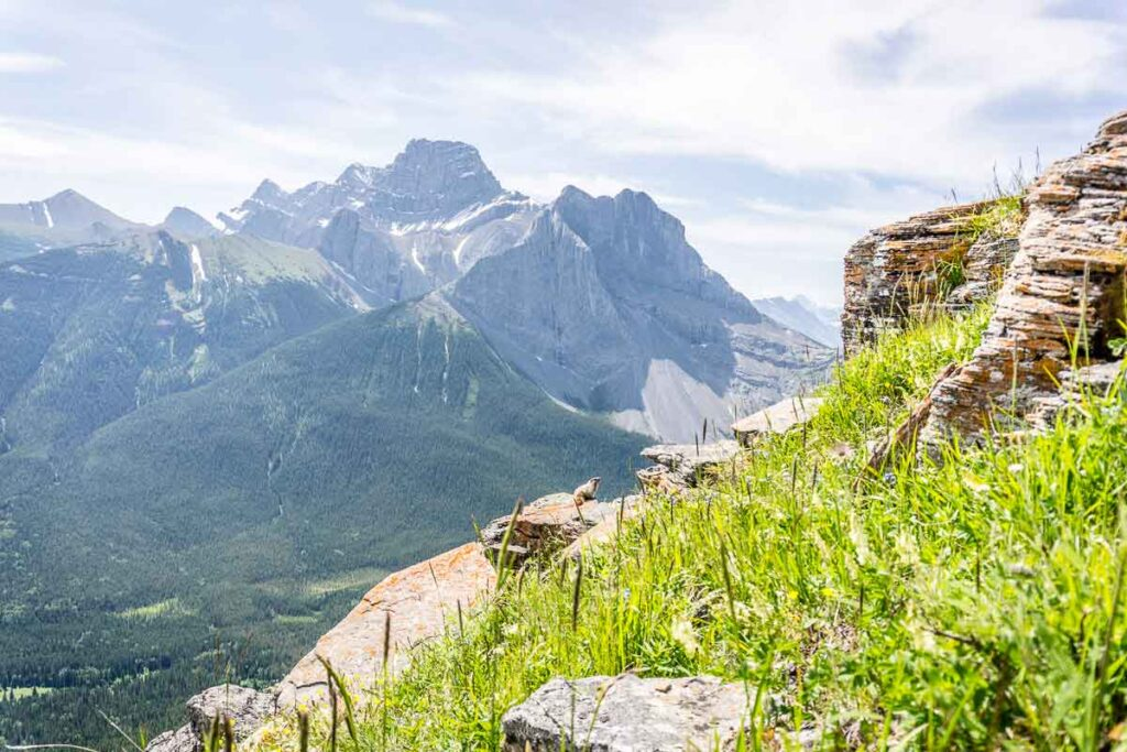 A Hoary Marmot enjoys views of Mt. Lougheed from the Wind Ridge Trail