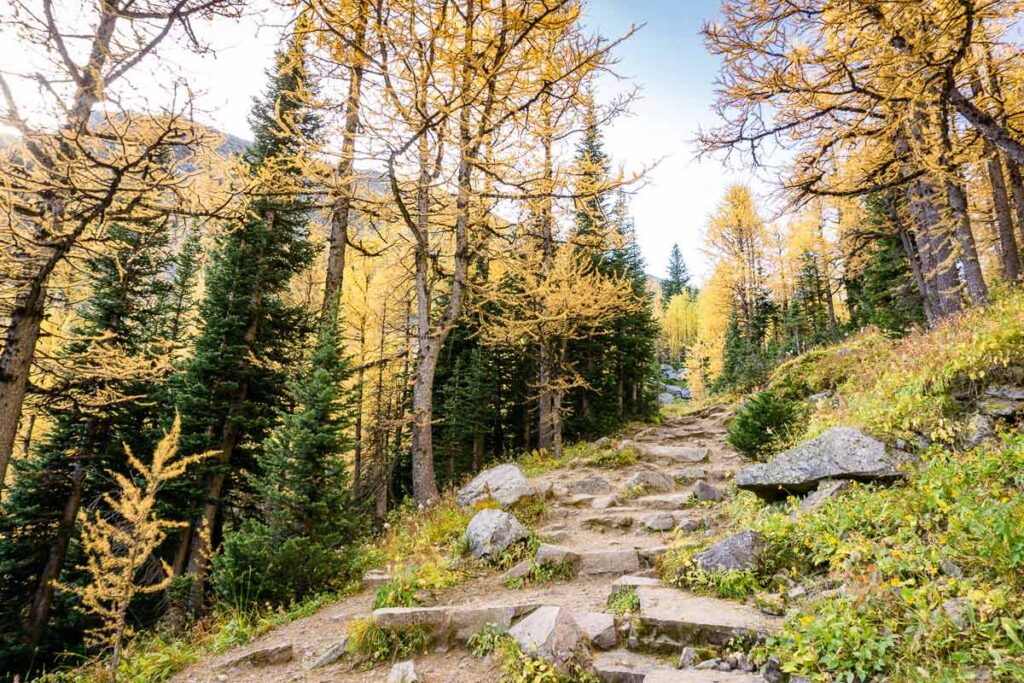 The Saddleback Pass Trail is a great moderate difficulty hike to see larch trees in Lake Louise