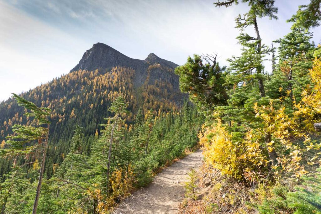 There are lots of larch trees growing on Saddle Mountain near Lake Louise