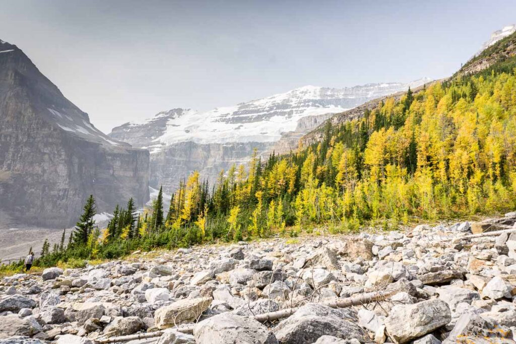 Beautiful larch trees are seen below the Victoria Glacier on the Plain of the Six Glaciers Trail