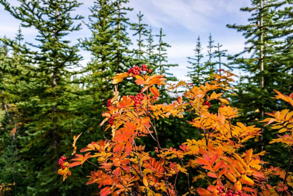 A shrub with red leaves and berries in the fall on Saddle Mountain Lake Louise