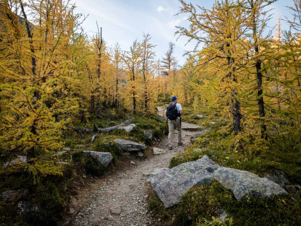 Many Lake Louise hiking trails have larch forests which turn golden in the fall