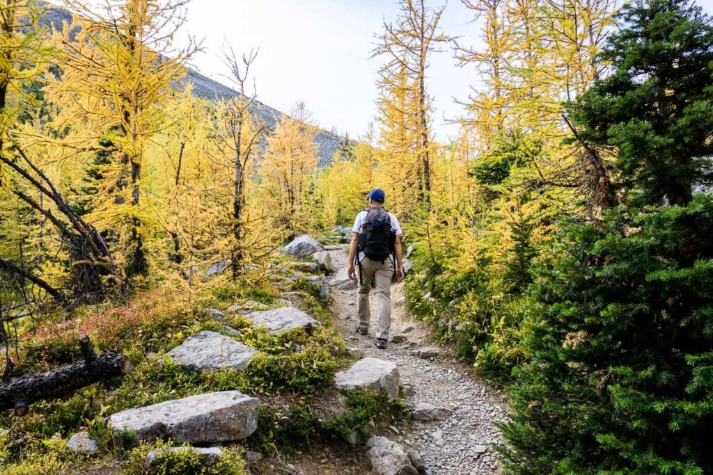 Beautiful fall colors and larch trees in September on Saddleback Trail in Lake Louise