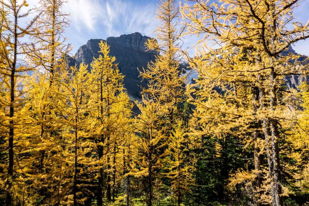 Get all the larch trees without the crowds - alternative hikes to Larch Valley in Lake Louise