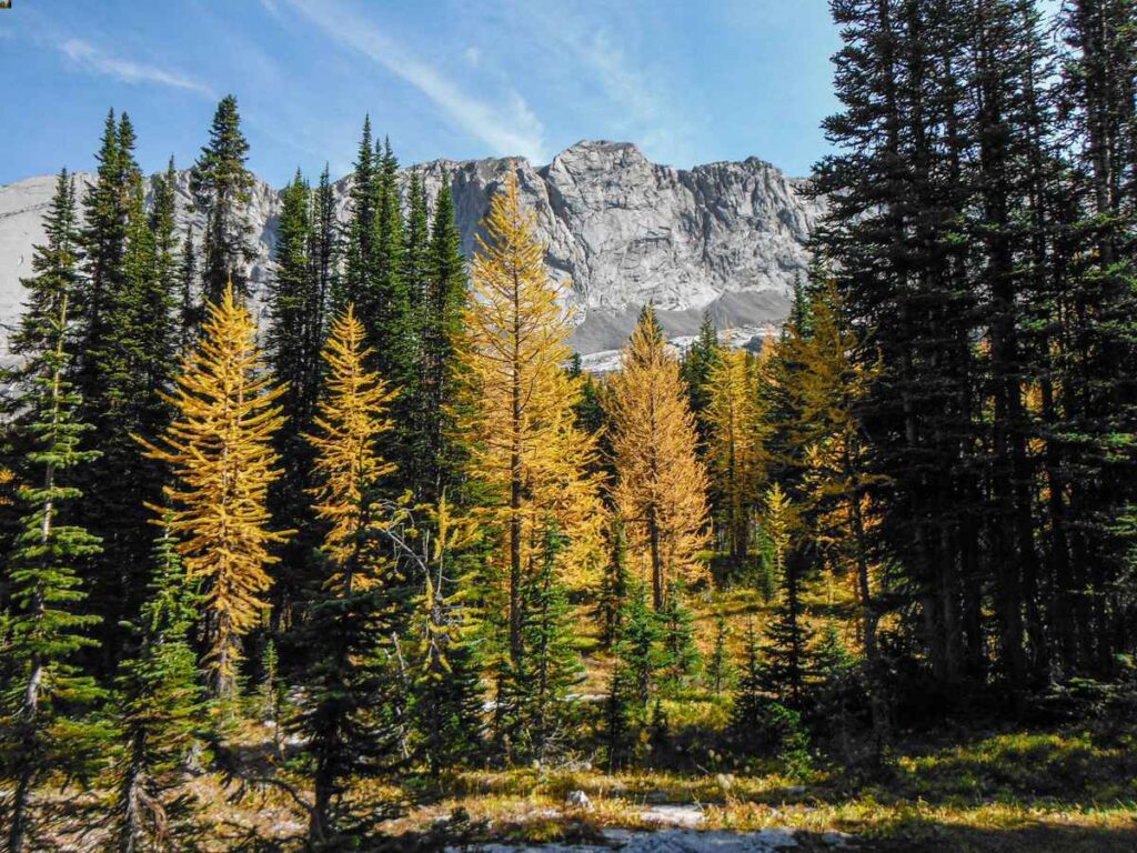 Golden larches along the Burstall Pass hike