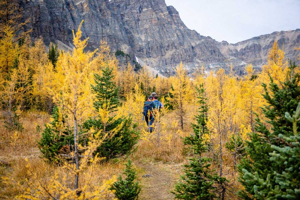 Hiking through golden larches in the shadow of Panorama Peak