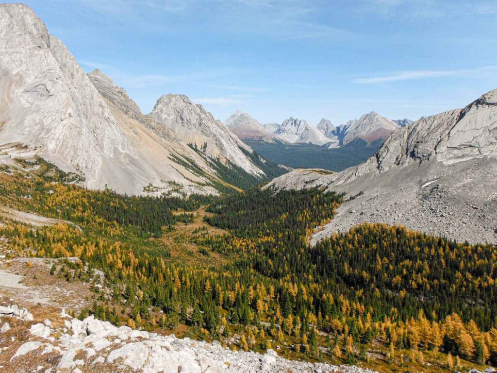 A forest of larch trees in Kananaskis Country Alberta