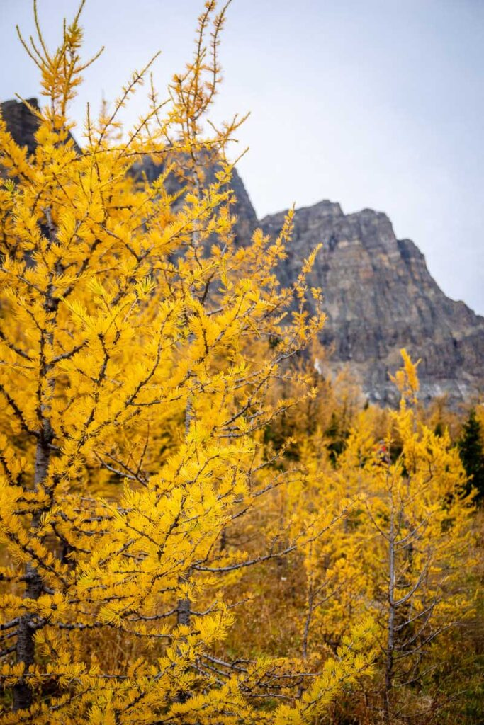 Best hikes in Banff to see larch trees