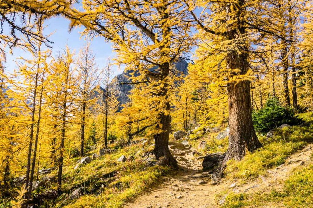 The Best Larch Tree Hikes in Alberta are found in Banff, Lake Louise and Kananaskis Country