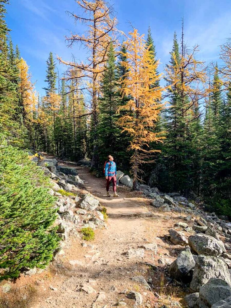 A hiker admires the golden larches of Lake Louise on the Saddleback Pass hike