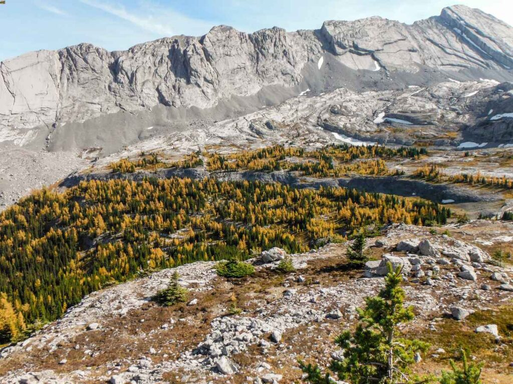 Hike through a large stand of larch trees on the Burstall Pass trail