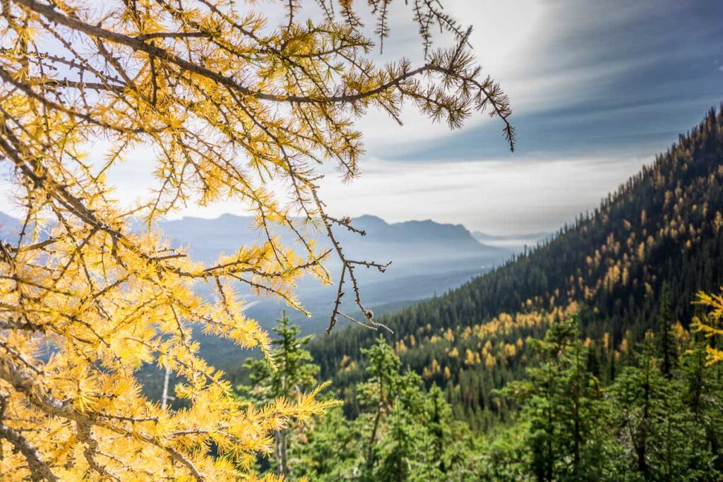 Larch trees are pretty easy to find around Lake Louise