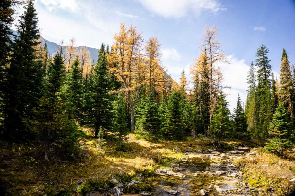 A mountain stream and golden larches along the Rummel Lake hiking trail in Kananaskis