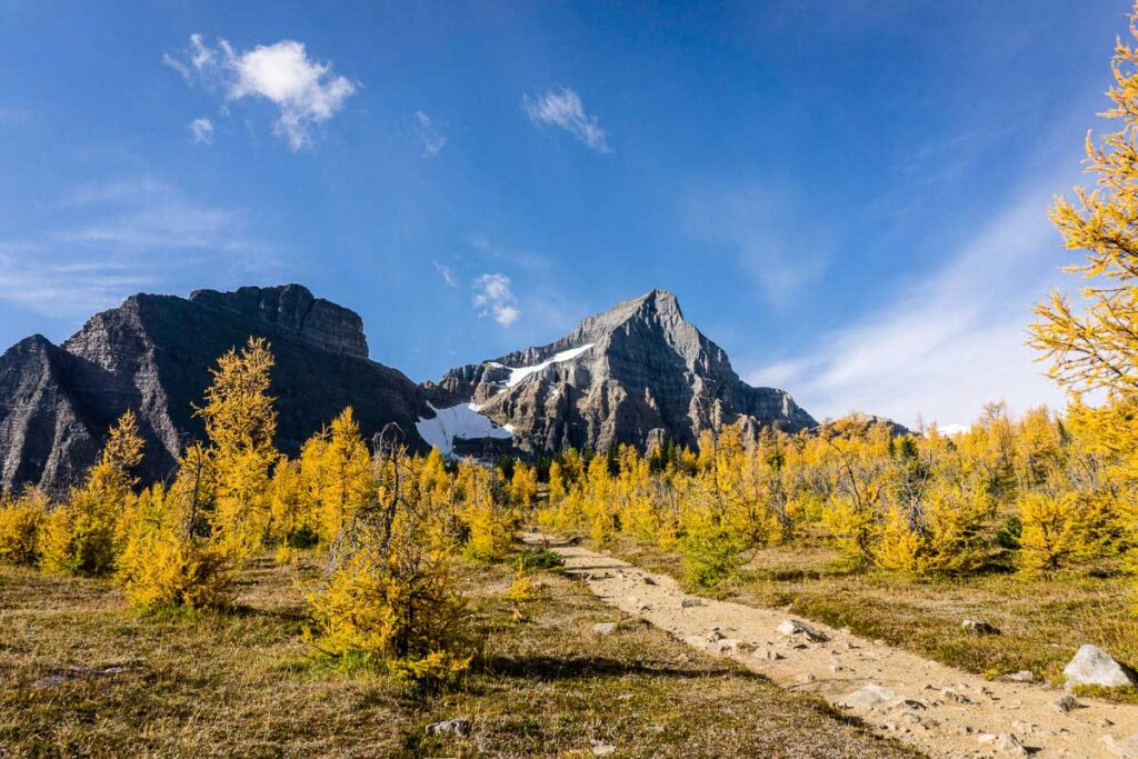 Subalpine larch trees are the most common larch in Banff and Kananaskis