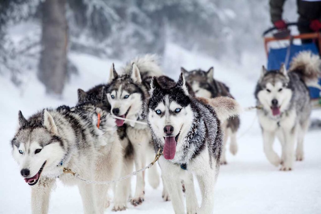 dog sledding at Lake Louise - things to do in Banff in December