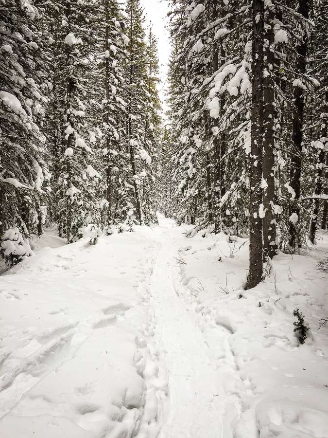 A snowshoe trail runs through snow capped evergreen trees on the Penstock Loop Snowshoe Trail in Kananaskis
