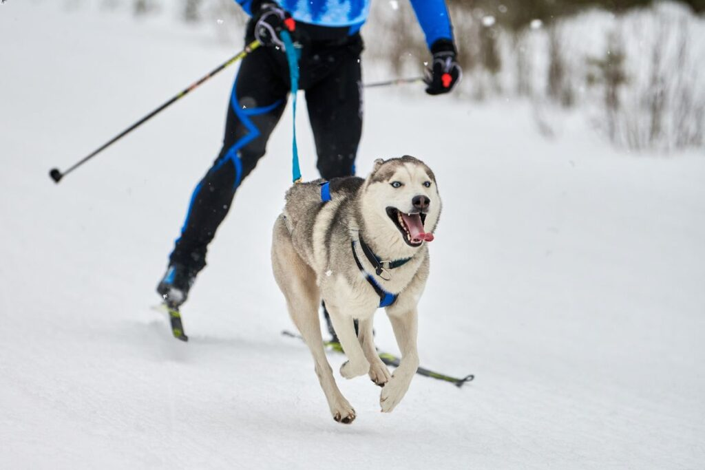 Mt. Shark is the only approved location for Skijoring in Kananaskis, Alberta