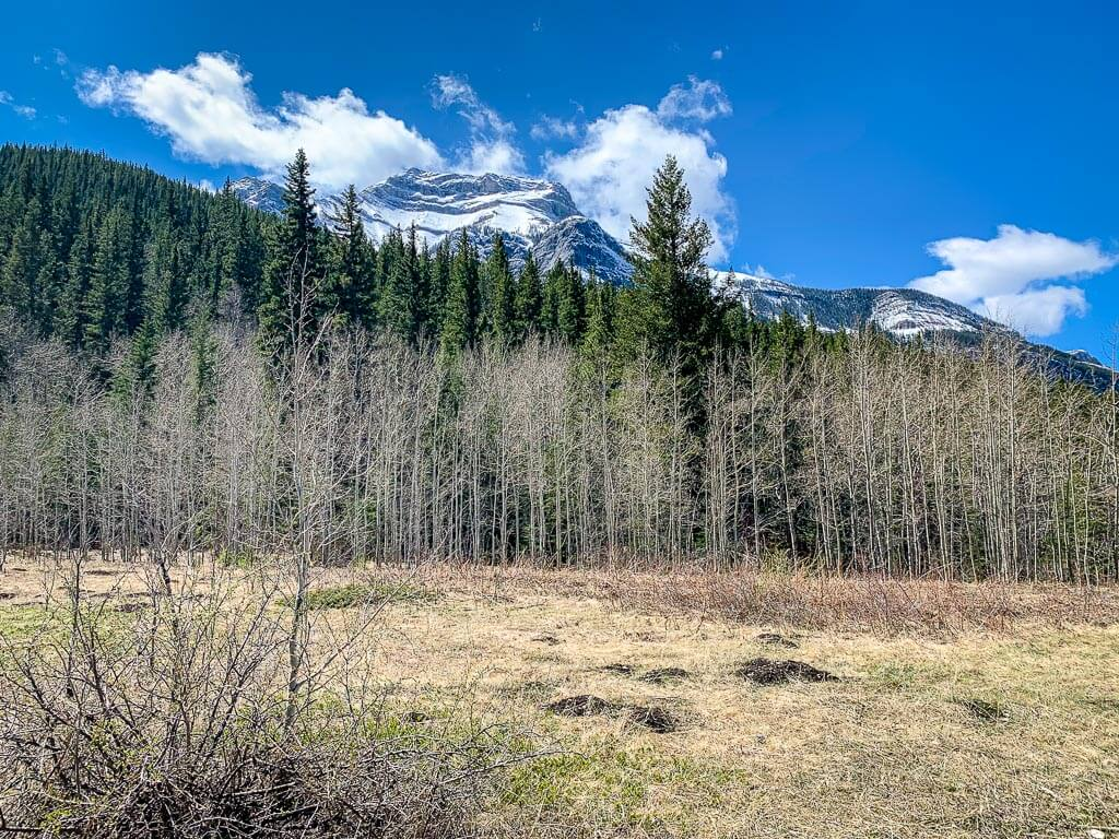 Aspens and evergreens in front of a snowy mountain in Kananaskis in spring