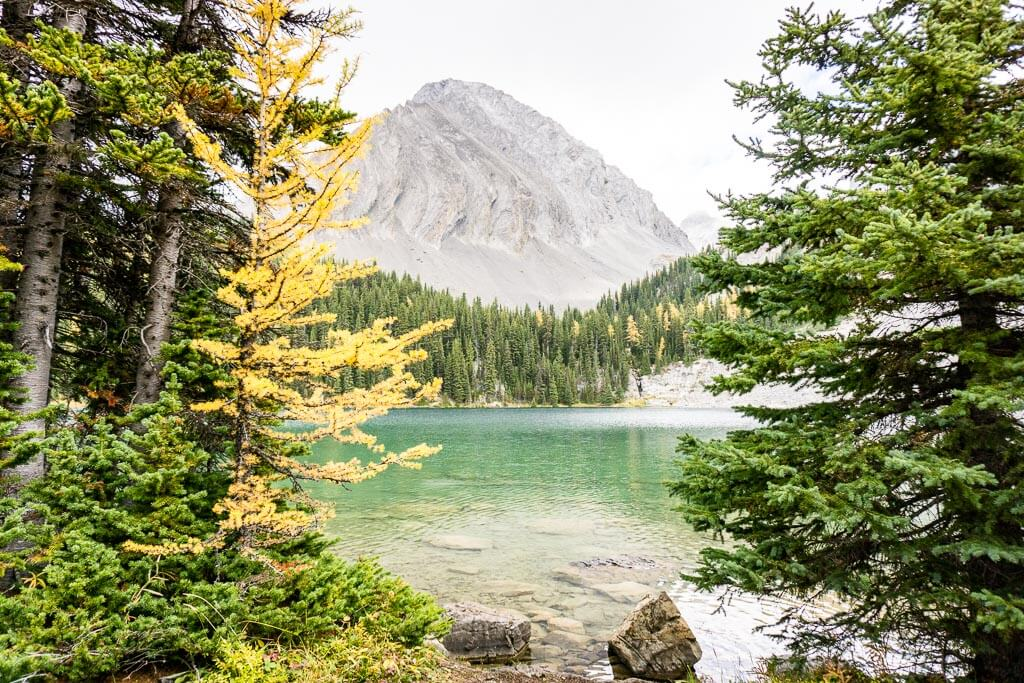 A golden larch tree on Chester Lake near Canmore