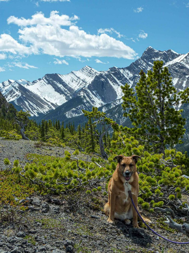 Dogs in Banff love hiking