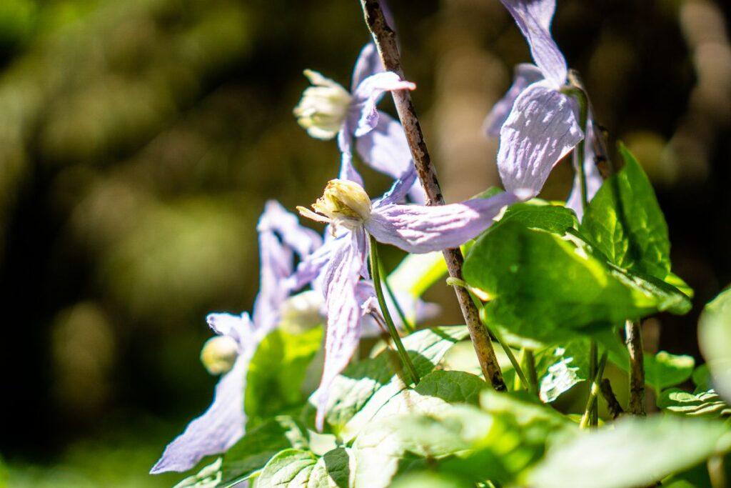 Wildflowers seen hiking in Kananaskis in Spring