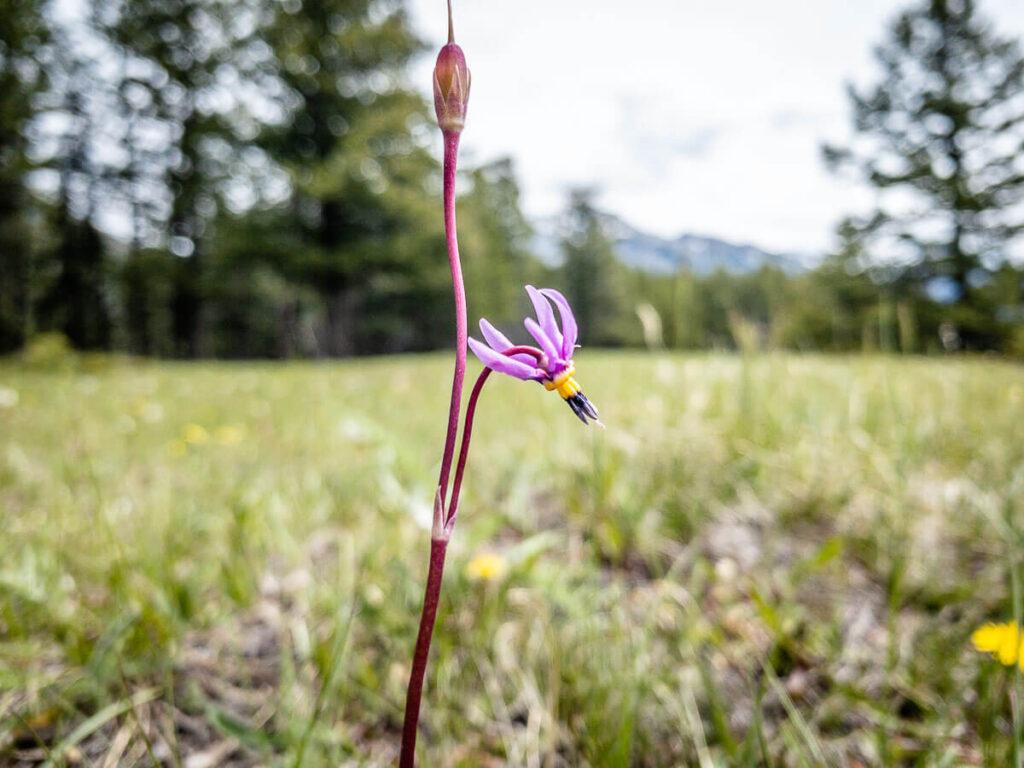 Flowers in Banff - Shooting Star Flower on the Johnson Lake Hike