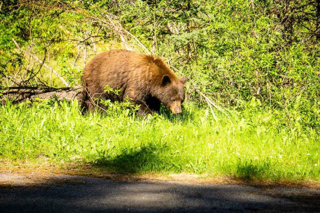 Bears in Kananaskis Country