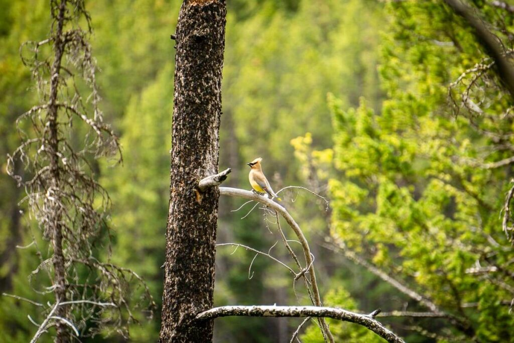 birding in Banff National Park - a Cedar Waxwing in a tree along the Johnson Lake trail