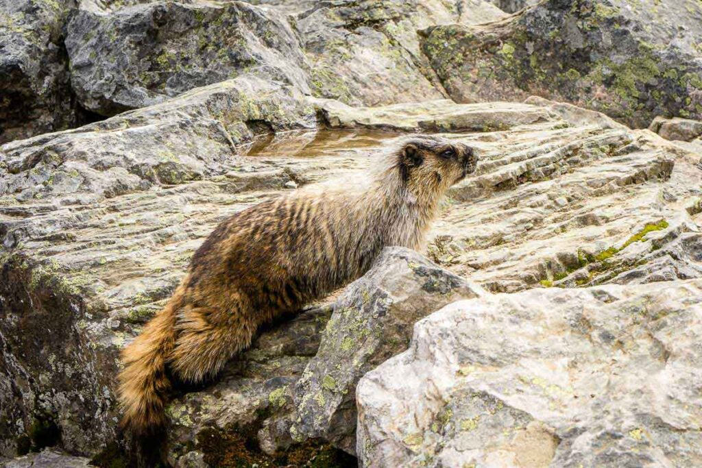 Hoary marmot in Banff National Park