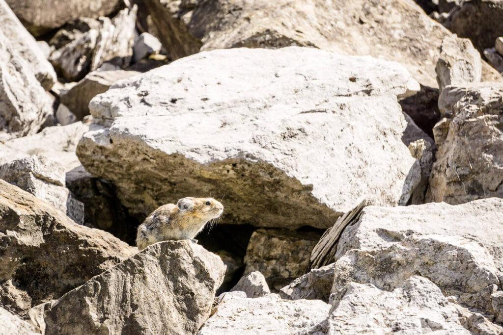 wildlife in Banff NP - Pika