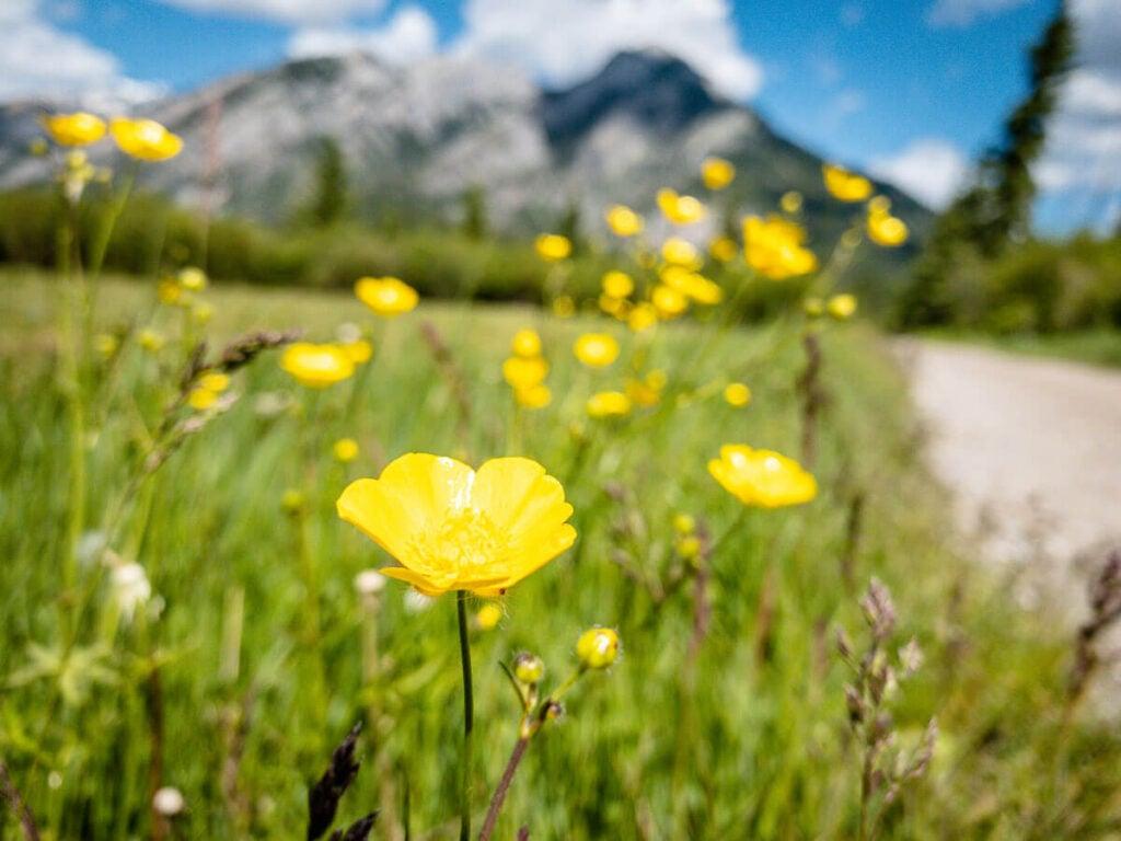 Wildflowers along Marsh Loop in Banff National Park