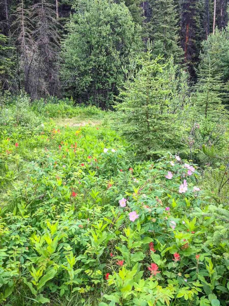 wildflowers in meadow at junction to Ink Pots via Johnston Canyon