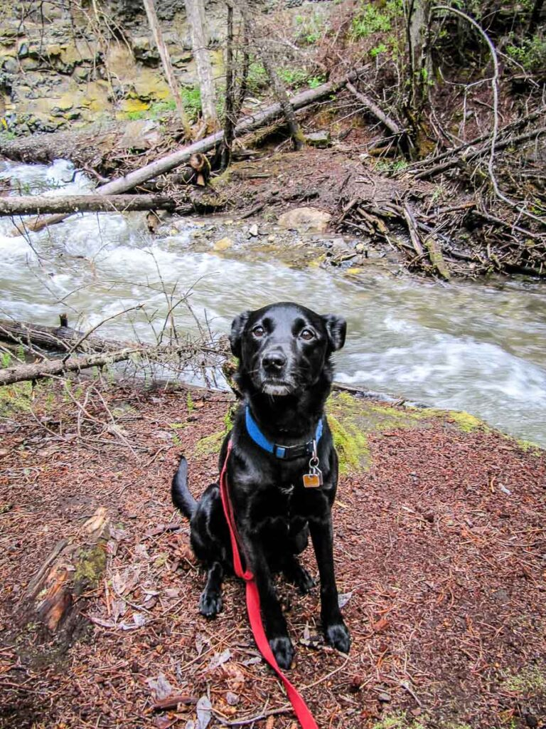 onleash dogs are allowed on the Troll Falls Kananaskis hiking trail