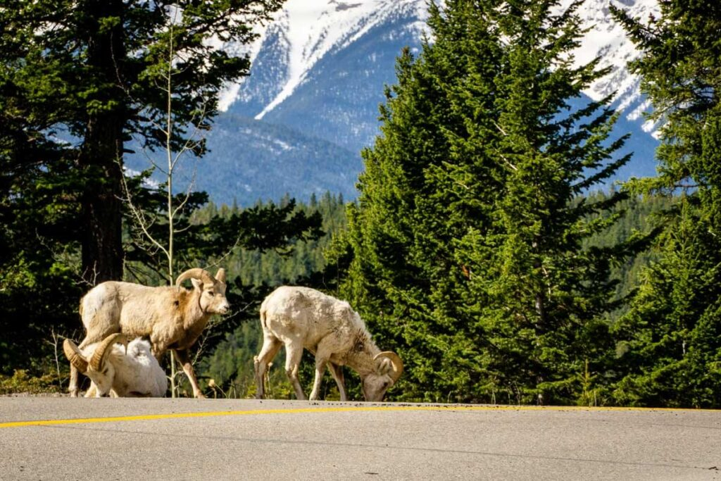 Bighorn Sheep on Lake Minnewanka Road in Banff National Park