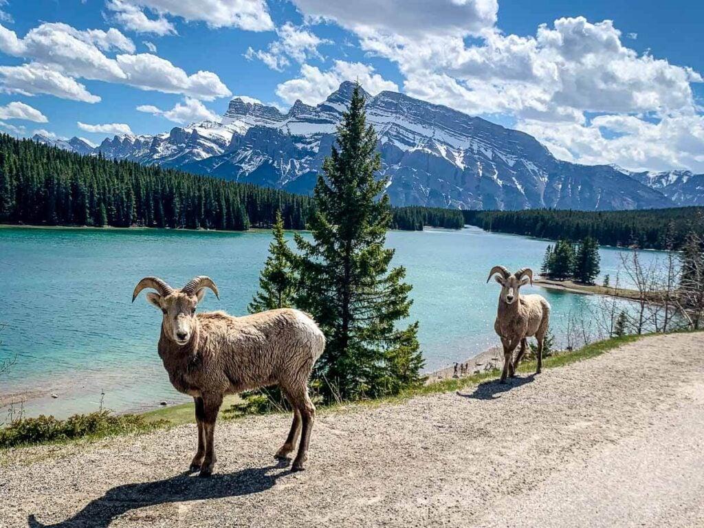 Bighorn sheep at Two Jack Lake in Banff National Park