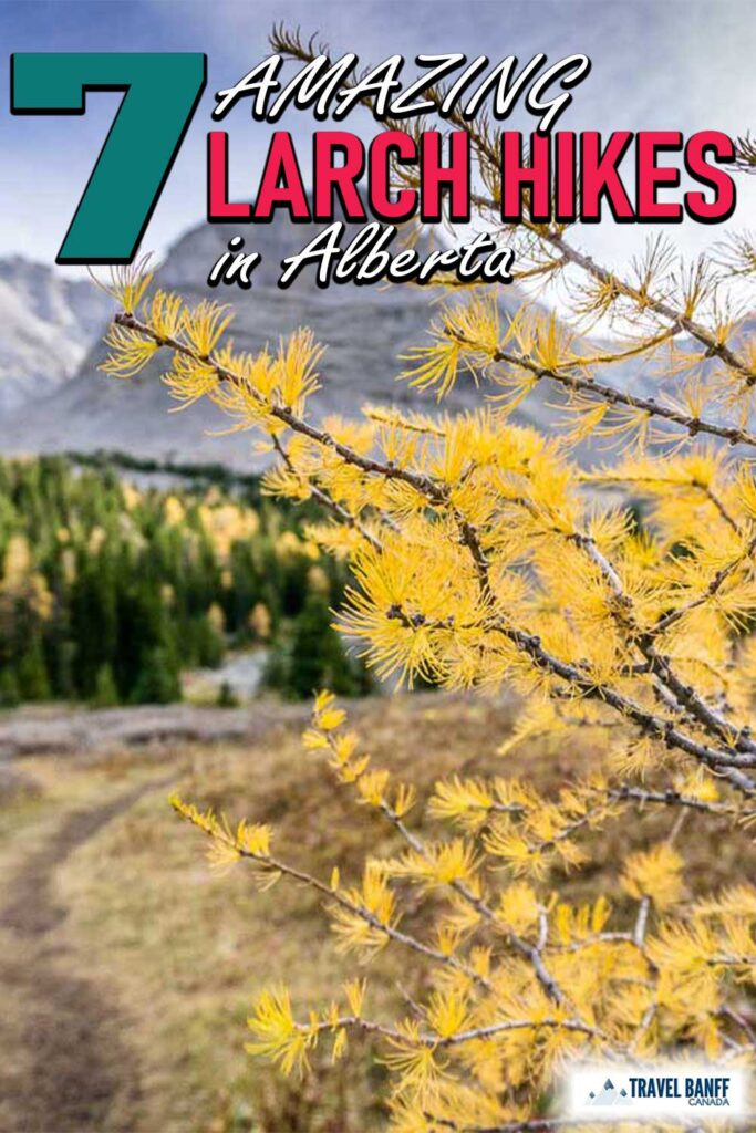 For a few special weeks every fall, Alberta hikers go crazy with larch tree fever. Parking lots for the best larch hikes in Alberta fill before dawn and social media feeds fill up with images of these beautiful trees and their brilliant golden needles.