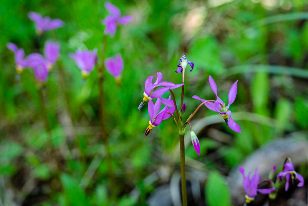 Alberta Wildflowers on Flowing Water Trail - easy hike in Kananaskis