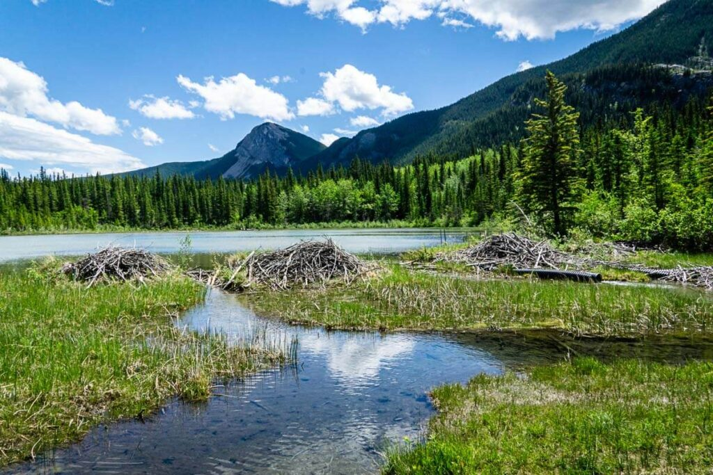 beaver dams on Many Springs in Bow Valley Provincial Park