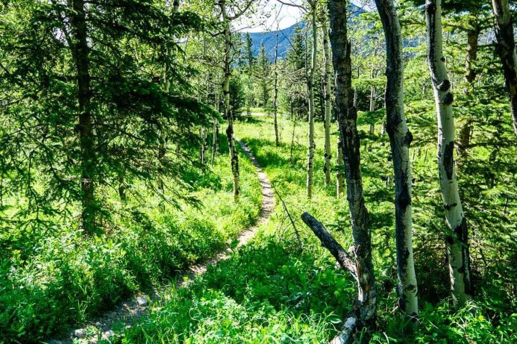 Forested trail along Bow River Interpretive Trail Kananaskis