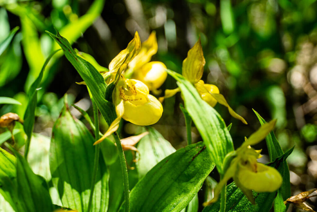 lady slipper orchids found on Many Springs Interpretive Trail in June