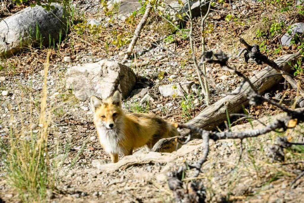 wildlife at Banff Lake Minnewanka
